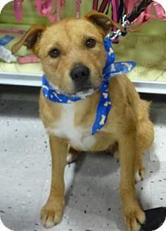 Labrador Retriever Mix Dog for adoption in Schaumburg, Illinois - Camille