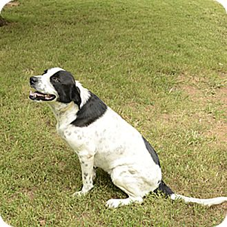 Great Pyrenees/Border Collie Mix Dog for adoption in Stillwater, Oklahoma - Lady