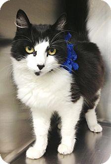 Domestic Mediumhair Cat for adoption in Dublin, California - Constance
