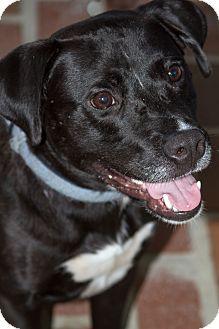 Labrador Retriever/Terrier (Unknown Type, Medium) Mix Dog for adoption in Baton Rouge, Louisiana - Gator