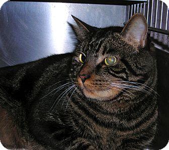 Domestic Shorthair Cat for adoption in El Cajon, California - Tiger