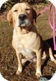 Golden Retriever/Labrador Retriever Mix Dog for adoption in Londonderry, New Hampshire - Hunny