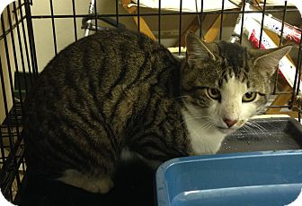 Domestic Shorthair Cat for adoption in Sugar Land, Texas - Feral Cat 6