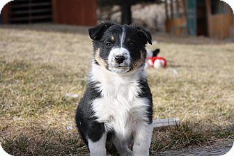 Border Collie Mix Puppy for adoption in Salt Lake City, Utah - G-puppies (M)