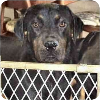 Rottweiler Dog for adoption in West Los Angeles, California - Buster