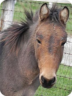 Donkey/Mule/Burro/Hinny for adoption in Woodstock, Illinois - Stanley