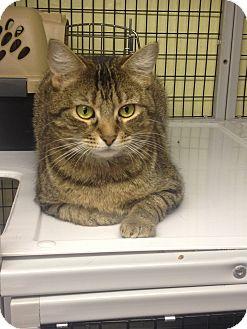 Domestic Shorthair Cat for adoption in Maryville, Illinois - Velvet