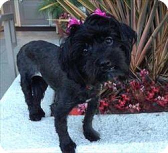 Maltese/Poodle (Miniature) Mix Dog for adoption in Los Angeles, California - CARLI