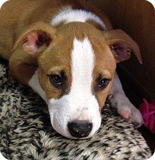 Boxer Mix Puppy for adoption in Nanuet, New York - Sherman