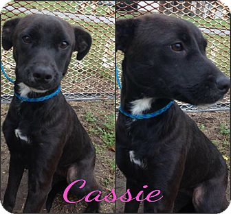 Border Collie/Labrador Retriever Mix Puppy for adoption in Okmulgee, Oklahoma - Cassie