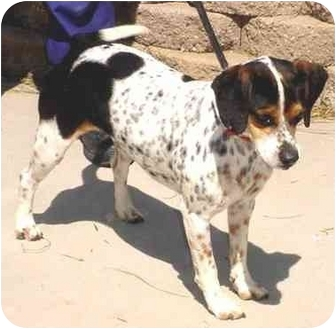 Beagle Mix Dog for adoption in Tracy, California - bosley