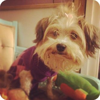 Maltese/Yorkie, Yorkshire Terrier Mix Dog for adoption in Seattle, Washington - Sweet KIKI
