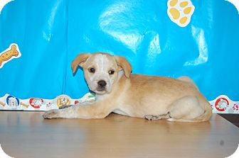 Australian Cattle Dog Mix Puppy for adoption in North Judson, Indiana - Prue