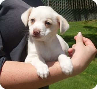 Terrier (Unknown Type, Small) Mix Puppy for adoption in Lathrop, California - Daisy