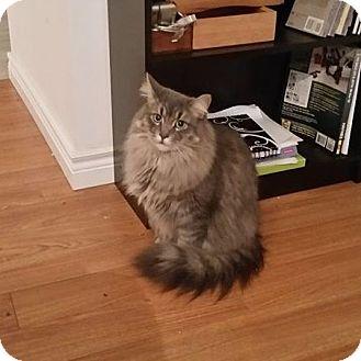 Domestic Longhair Cat for adoption in Edmonton, Alberta - Simon
