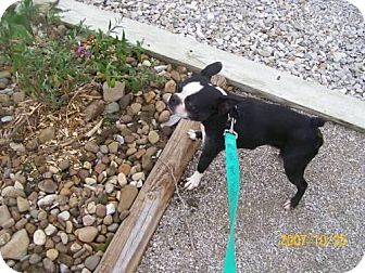 Boston Terrier Mix Dog for adoption in Newburgh, Indiana - Whiskers