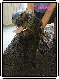 Affenpinscher Dog for adoption in Greenville, Kentucky - Tessey (SPONSORED)