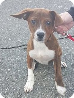 Boxer/Beagle Mix Puppy for adoption in Charlotte, North Carolina - BERNARD