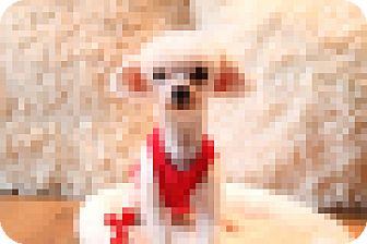 Maltese Dog for adoption in Chattanooga, Tennessee - Little Bit (OH)