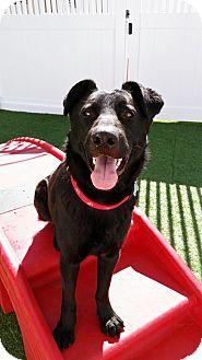 Labrador Retriever/German Shepherd Dog Mix Dog for adoption in Milwaukee, Wisconsin - THOMAS