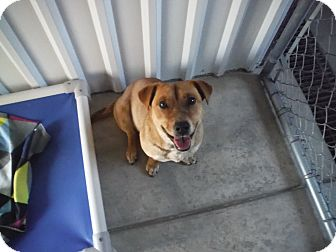 Corgi/Australian Cattle Dog Mix Dog for adoption in McIntosh, New Mexico - Gilda