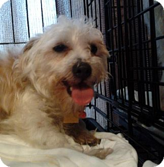 Yorkie, Yorkshire Terrier/Poodle (Miniature) Mix Dog for adoption in Bloomington, Illinois - Cinnamon Stick