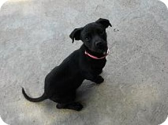 Dachshund Puppy for adoption in Nampa, Idaho - BOUNCE