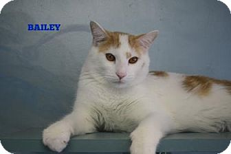 Domestic Shorthair Cat for adoption in West Des Moines, Iowa - Bailey