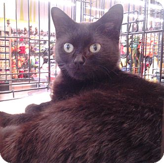 Domestic Shorthair Cat for adoption in Richmond, Virginia - Coco
