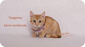 Domestic Shorthair Kitten for adoption in Corona, California - TANGERINE