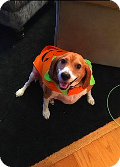 Beagle Mix Dog for adoption in Prospect, Connecticut - Polo