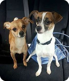 Chihuahua Dog for adoption in Caldwell, New Jersey - Monkey & Tango ~ Varsity Sweater Boys!