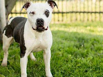 American Staffordshire Terrier Dog for adoption in Los Angeles, California - KLONDIKE