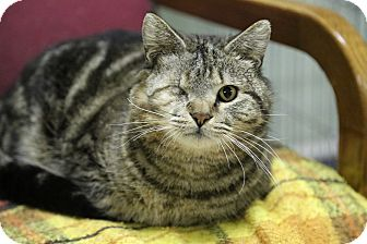 Domestic Shorthair Cat for adoption in Allentown, Pennsylvania - Popeye (Reduced)