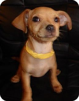 Chihuahua/Dachshund Mix Puppy for adoption in San Diego, California - Melvin