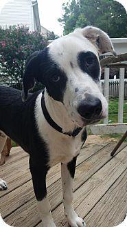 Great Dane/Pit Bull Terrier Mix Dog for adoption in Raleigh, North Carolina - Buckeye