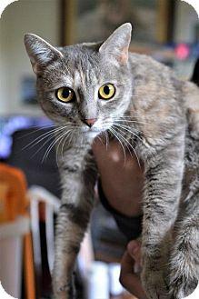 Domestic Shorthair Cat for adoption in Danbury, Connecticut - Skylark