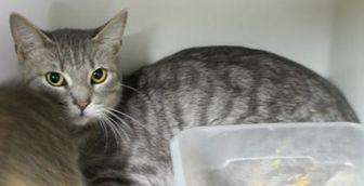 Domestic Shorthair/Domestic Shorthair Mix Cat for adoption in Robinson, Illinois - Smokey Lady