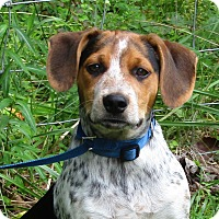 Adopt A Pet :: Samson - Brattleboro, VT