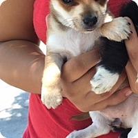 Adopt A Pet :: Hailey - Temecula, CA