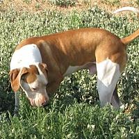 Treeing Walker Coonhound/Hound (Unknown Type) Mix Dog for adoption in Chinook, Montana - Copper