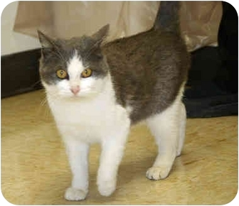 Domestic Shorthair Cat for adoption in Racine, Wisconsin - Kazoo