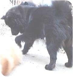 Akita/Chow Chow Mix Dog for adoption in Columbus, Ohio - Huggie Bear