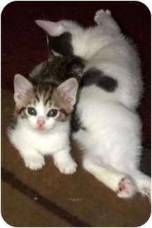 Domestic Shorthair Kitten for adoption in Xenia, Ohio - Ben