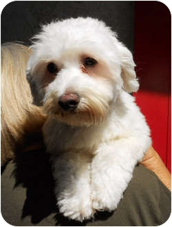 Maltese Dog for adoption in El Segundo, California - Mindy