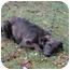 Photo 2 - Australian Shepherd/Sheltie, Shetland Sheepdog Mix Dog for adoption in Elgin, Illinois - PRECIIOUS