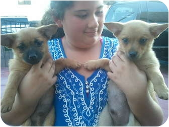 Chihuahua Mix Puppy for adoption in Harbor City, California - pom boys 1 girl