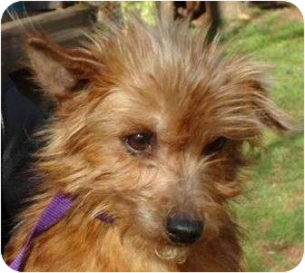 Yorkie, Yorkshire Terrier Mix Dog for adoption in Allentown, Pennsylvania - Rosa