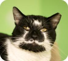 Domestic Shorthair Cat for adoption in Medford, Massachusetts - Rocco