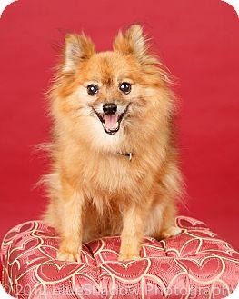 Pomeranian Dog for adoption in Bridgeton, Missouri - Peaches